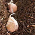 Лунный календарь на октябрь 2020 года для посадки чеснока