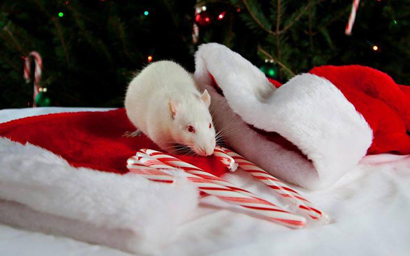 Приметы на Новый Год 2020 крысы